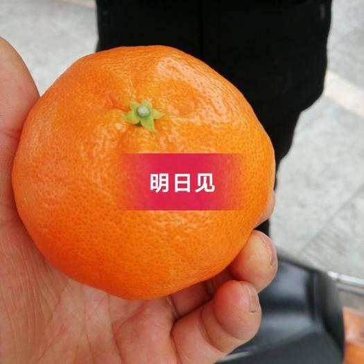 仁寿县明日见枝条 柑橘明日的担当