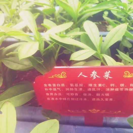 广东省深圳市龙岗区 人参菜:含有蛋白质、氨基酸、维生素C、钙、铁、锌;具有补中益