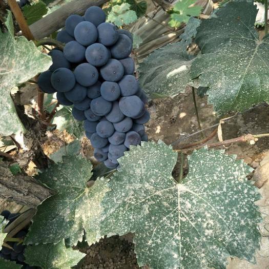 北镇市 大量140葡萄