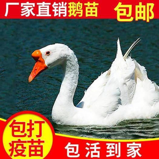 南寧青菜心 孵化場直銷各類雞鴨鵝苗胃口大易長個適應環境強抗體優質價格親民