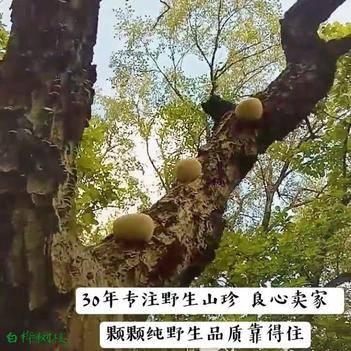 野生猴头菇绿色无硫养胃