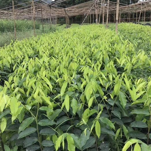 茂名化州市奇楠沉香樹 出售奇楠苗