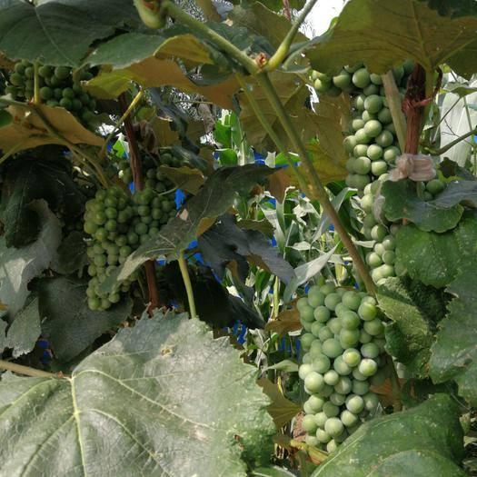 凌海市康贝尔葡萄 口感甜微带酸,色泽黑红。