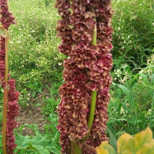 甘南临潭县大黄种子 掌叶大黄,大黄种籽,高产量,发芽率很高,