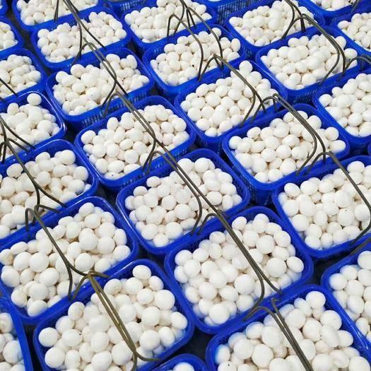 开封兰考县 双孢菇
