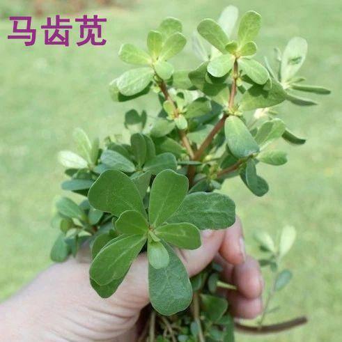 南京江寧區紫莧菜 馬齒莧