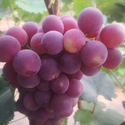 单县861葡萄 1.5- 2斤 5%以下 1次果