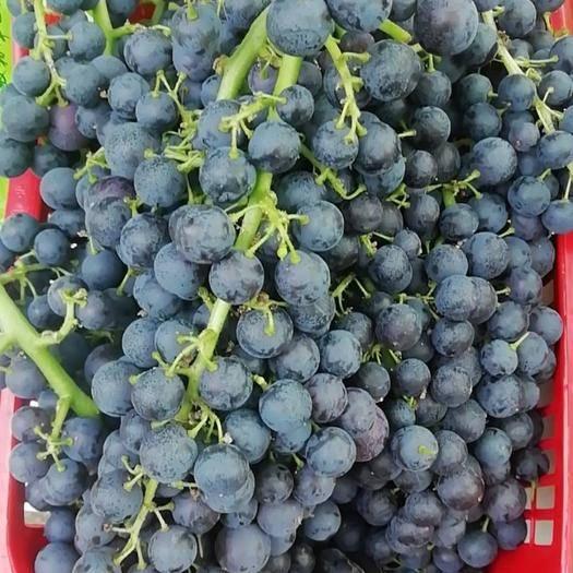 凯里市 蓝莓葡萄