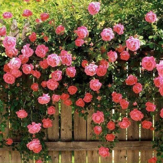 平邑县 蔷薇苗 蔷薇花苗 爬藤庭院植物 多花月季玫瑰