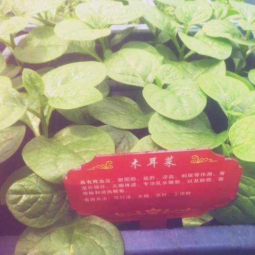 广东省深圳市龙岗区 木耳菜,降血压胆固醇益肝凉血利尿等