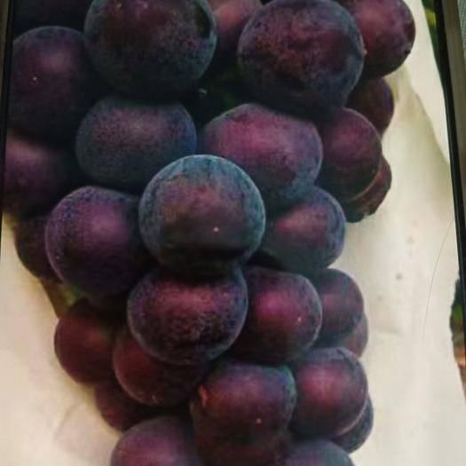 深泽县紫藤葡萄 2斤以上 5%以下 1次果