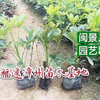 鸭脚木 鹅掌柴高20到30厘米福建漳州苗木基地