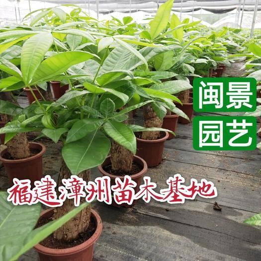 漳州龍海市 發財樹高20到30厘米福建漳州苗木基地
