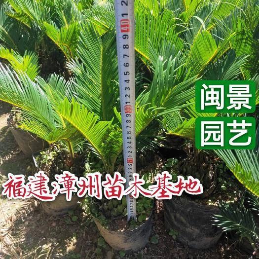 漳州漳浦縣 蘇鐵 鐵樹高40到1.5米福建漳州苗木基地