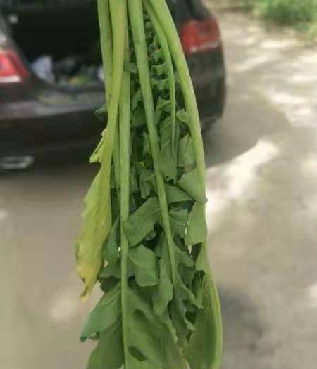 新疆维吾尔自治区乌鲁木齐市乌鲁木齐县萝卜菜 萝卜缨 10—30厘米   莱菔英20厘米