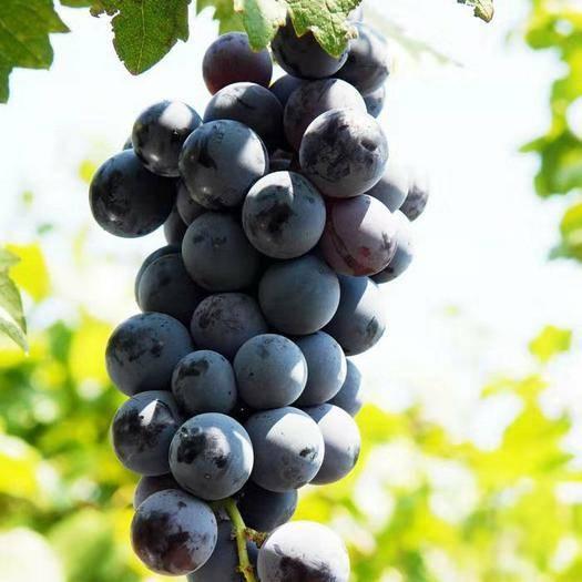 稷山县日本夏黑 果皮紫黑色或蓝黑色,果粉厚,肉质较软,汁多,味酸甜,微有草莓