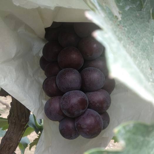 深泽县 藤稔乒乓球葡萄2~3斤1次果 3元/斤 自己家百亩葡萄已熟