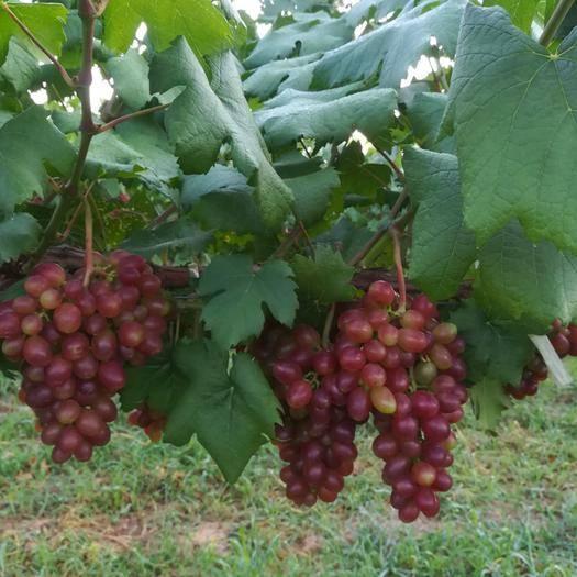 大荔县黑芭拉多葡萄 0.6-0.8斤 5%以下 1次果
