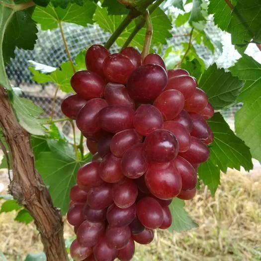大荔县黑芭拉多葡萄 0.8-1斤 5%以下 1次果
