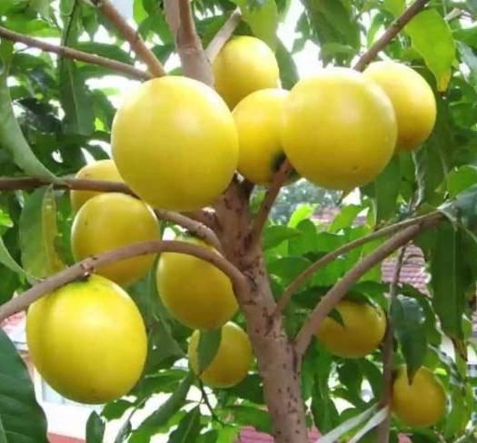 钦州灵山县 黄晶果苗,可盆栽地栽适应性强。结果快。食用美容养颜。