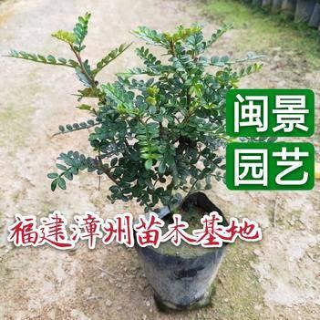 胡椒木盆栽 胡椒木 清香木高20到30厘米福建漳州苗木基地