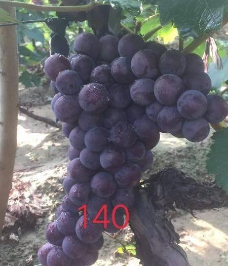 永清县140葡萄 早巨.140.大量上市了,有购买的经销商联系