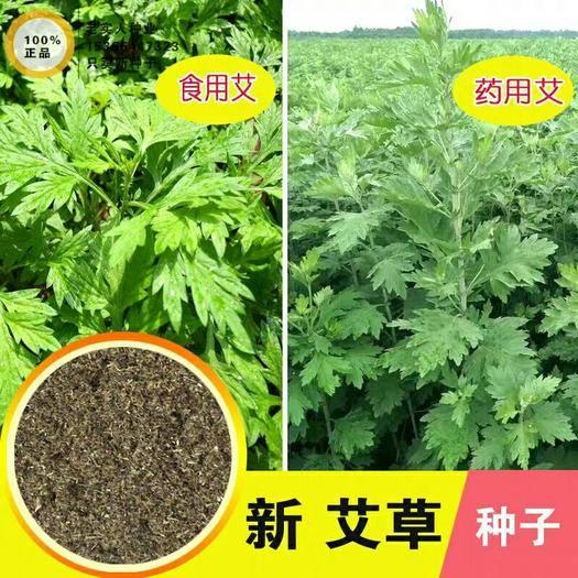 临沂平邑县 艾草种子   精选种子  发芽率高