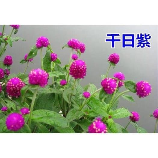 南通崇川区 秋季户外绿化千日紫千日红种子耐旱四季花种子庭院易种花籽花草