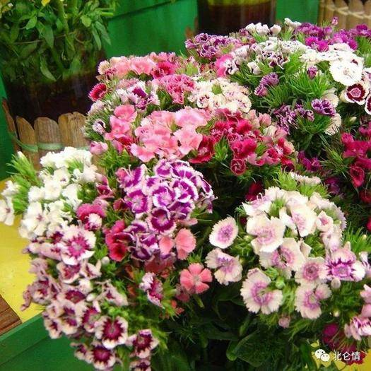 沭陽縣 花種五彩石竹種子新種子包郵