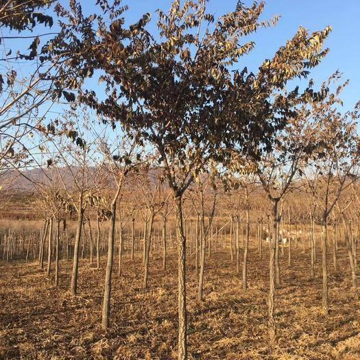 鐵嶺開原市 黃柏樹價格 黃菠蘿樹價格 黃菠蘿小苗 大樹 常年批發