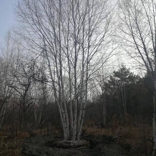 铁岭开原市 辽宁白桦树苗价格 丛生白桦树价格 白桦树小苗 批发