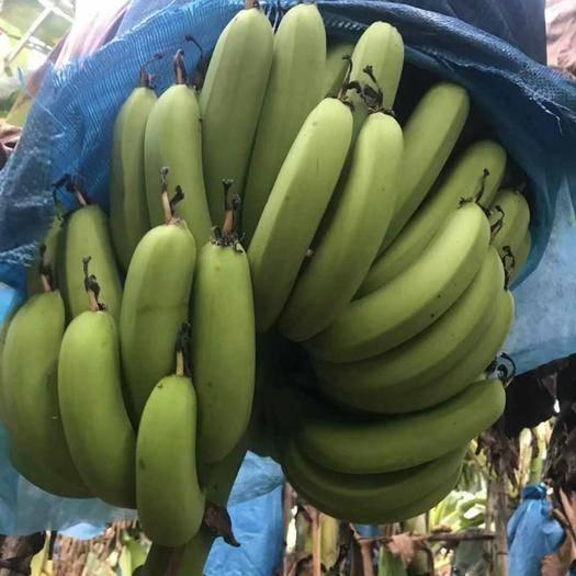 湛江雷州市 正宗广东香蕉,寻求大量老板合作