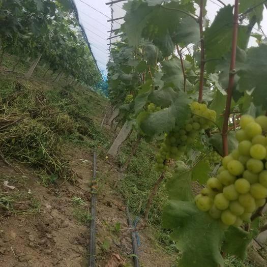太和县醉金香葡萄 0.6-0.8斤 10%以下 1次果