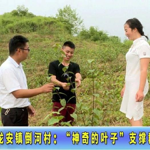 广安邻水县豆腐柴苗 豆腐柴种苗豆腐柴干粉