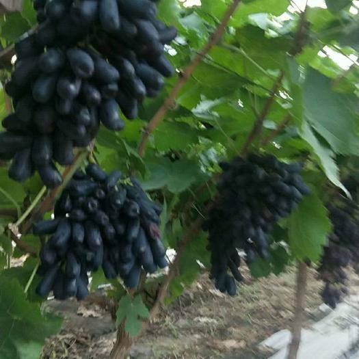 太和县蓝宝石葡萄 1-1.5斤 5%以下 1次果