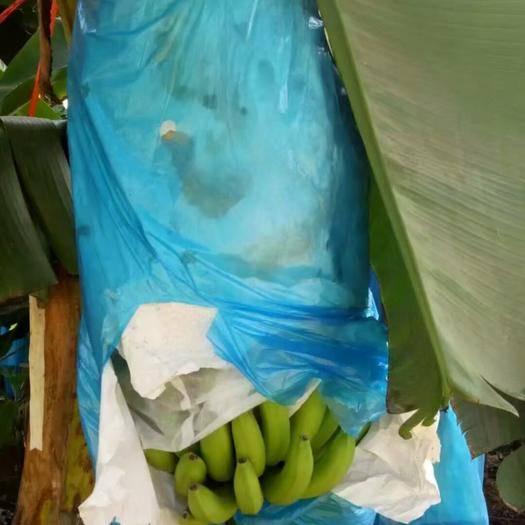 南宁西乡塘区 广西威廉斯香蕉 大量供应 货源充足  支持一件代发电商对接