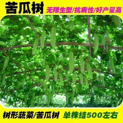邵阳邵东县绿苦瓜种子 苦瓜树种子翠绿苦瓜夏季秋季四季播早熟抗病高产盆栽蔬菜籽种孑籽