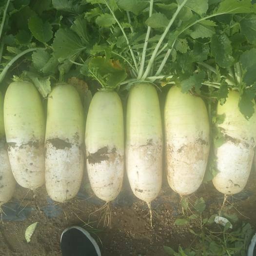 内蒙古自治区乌兰察布市化德县萝卜菜 8~15cm
