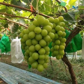 葡萄苗阳光玫瑰葡萄树苗品种纯正葡萄苗现挖现售营养杯