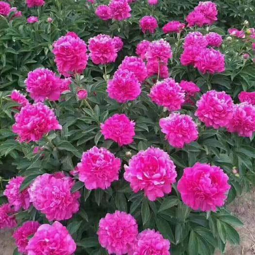 菏澤牡丹區 觀賞多花芍藥,精品觀賞芍藥,多層花,保品種,現要現挖