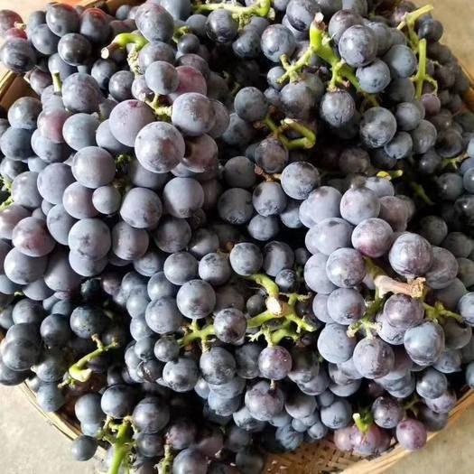修文县紫罗兰葡萄 自己种的     没有打农药    绿色无污染。