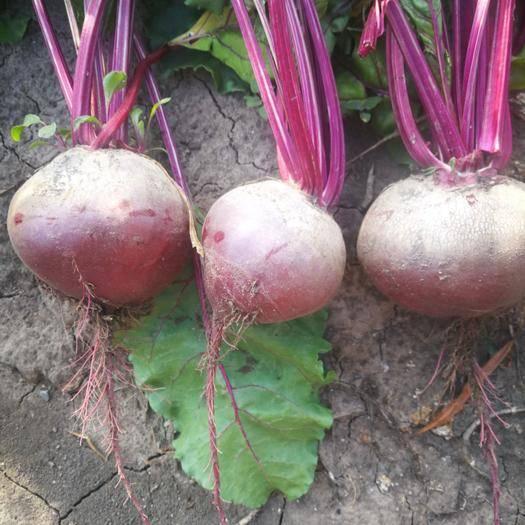 農安縣 紅甜菜,甜菜根,紅菜頭,紫嘎達