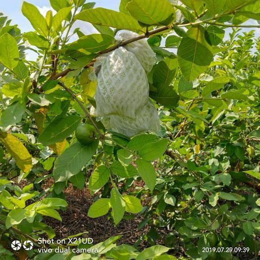 南宁横县 自家种植番石榴欢迎来撩货