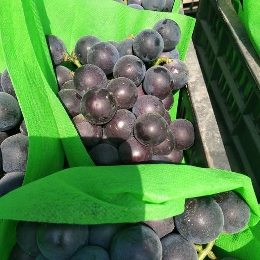 北镇市 巨峰140葡萄大量上市,价格便宜,现货供应,欢迎前来选购