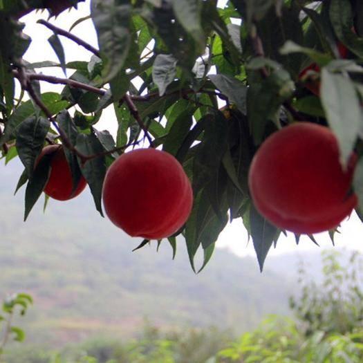 临沂平邑县 中秋蜜桃纯人工种植新鲜健康桃子基地直发