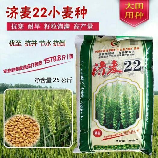 滄州滄縣小麥種子 小麥種.大田種植小麥種.濟麥22良種