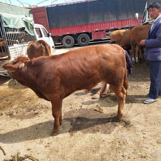 毕节威宁彝族回族苗族自治县 各种肉牛