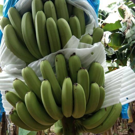 遂溪县菲律宾香蕉 1.1