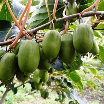软枣猕猴桃树苗新品种猕猴桃苗龙城二号品种纯正