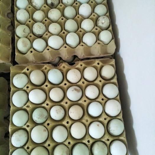德州乐陵市土鸡种蛋 五黑鸡种蛋受精%90以上